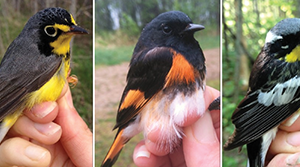 The challenge of identifying warblers from underneath
