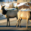 History file: Relocated elk didn't stay in Swan Hills