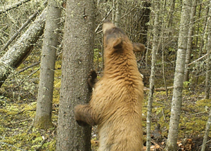 More bears out there