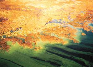 Blue-Green algae in Cross Lake in southern part of M.D.