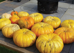 Big year for pumpkins